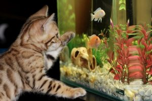 A cat trying to catch a fish from a fish tank.